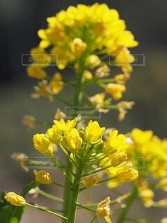 菜の花の写真・画像素材[4166795]