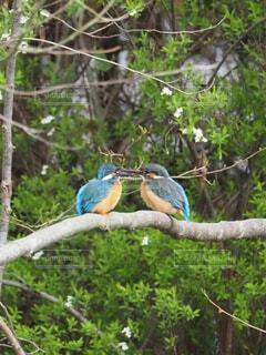 春と2羽のカワセミの写真・画像素材[4265421]