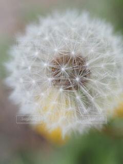 タンポポの綿毛の写真・画像素材[4273499]