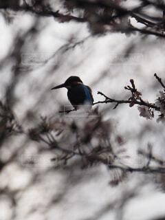 桜咲く公園のカワセミの写真・画像素材[4276128]