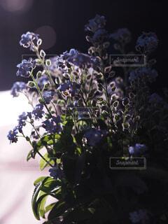 ワスレナグサの写真・画像素材[4310439]