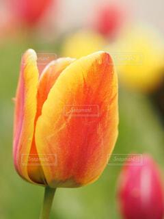 春のチューリップの写真・画像素材[4313534]