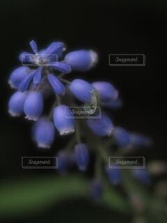 ムスカリのお花と…幼虫…の写真・画像素材[4313536]