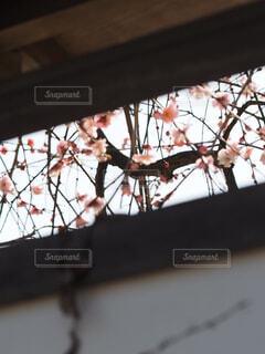 早春の梅の花の写真・画像素材[4354060]