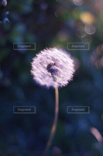 タンポポの綿毛の写真・画像素材[4360316]