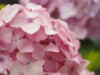 雨上がりの紫陽花の写真・画像素材[4521463]