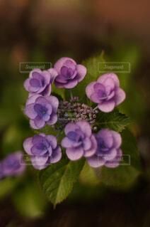紫の紫陽花の写真・画像素材[4521593]