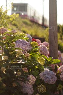 線路脇の紫陽花の写真・画像素材[4556957]
