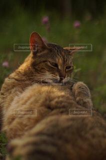 芝生の上の猫の写真・画像素材[4584580]