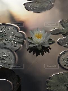 睡蓮の咲く池の写真・画像素材[4761677]