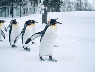 ペンギン。の写真・画像素材[4141443]