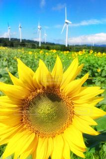 青空,景色,ひまわり畑,花園,フォトジェニック,布引高原,天空の花園,青空が好き