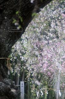 枝垂れ桜の写真・画像素材[1135562]