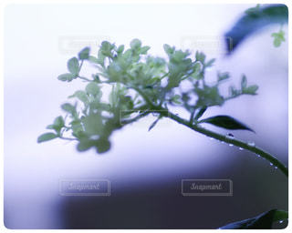 花,雨,水滴,光,樹木,紫陽花,雫,梅雨,雨粒,アジサイ,フォトジェニック