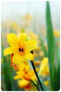 花,雨,水滴,梅雨,雨粒,草木,ニッコウキスゲ,フォトジェニック,雄国沼