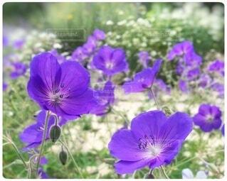 紫色の花で満たされた庭の写真・画像素材[4941757]