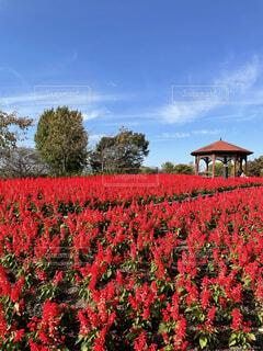 秋晴れの公園の鮮やかな花畑にての写真・画像素材[3854270]
