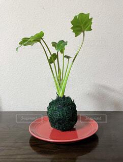 とても素敵な観葉植物を見つけたので飾ってみました。の写真・画像素材[3960495]