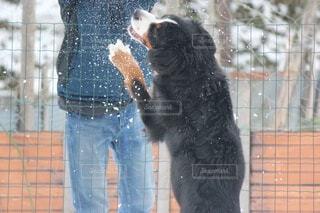 犬,冬,雪,ペット,雪遊び,運動,大型犬,ウィンタースポーツ,バーニーズマウンテンドッグ,Bernese Mountain Dog