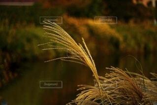 夕日に照らされるすすきの写真・画像素材[3803058]