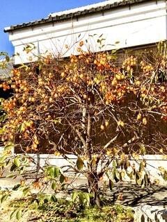 柿の樹の写真・画像素材[3824109]
