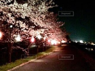 夜桜の写真・画像素材[4291683]