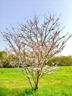 小さな桜の写真・画像素材[4297949]