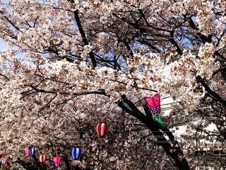 縁日のような桜の写真・画像素材[4297950]