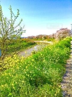 川辺に咲く菜の花の写真・画像素材[4310248]
