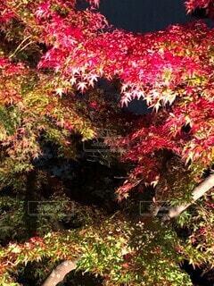 紅葉の写真・画像素材[3799128]