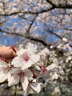 春,樹木,イベント,お祝い,桜の花,さくら,成人の日