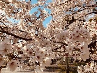 春,晴れ着,和装,桜の花,さくら,行事,成人の日