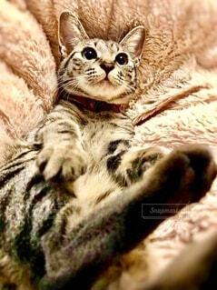ふわふわのこたつ布団に寝ている茶色の猫の写真・画像素材[3948551]
