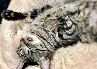 こたつ布団に寝そべっている猫のアップの写真・画像素材[3948704]