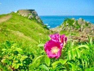 海をバックにした海岸に咲くハナマスの花の写真・画像素材[3977323]