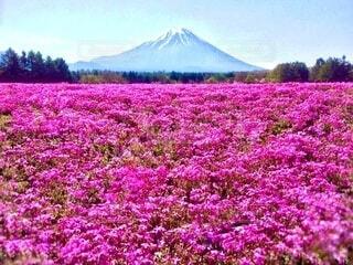一面ピンクの芝桜畑と富士山の写真・画像素材[3978348]
