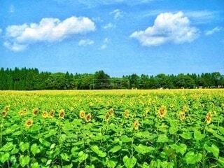 森の手間に咲いている沢山の向日葵の花の写真・画像素材[3978517]