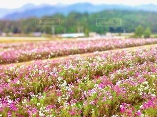 広大なコスモスの畑と山の写真・画像素材[3987432]