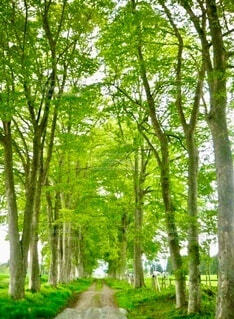 新緑の並木道の写真・画像素材[3995747]