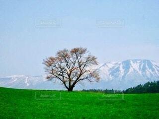 牧場の中にある1本の桜の木の写真・画像素材[3995776]