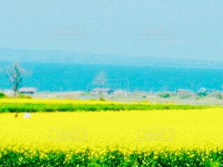 背景に海が広がっている広大な菜の花畑の写真・画像素材[4296036]