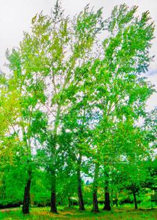 太陽の光に煌めいて風にそよぐ樹木の写真・画像素材[4346695]