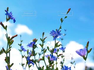 澄んだ青空を背景にした青い花の写真・画像素材[4609783]