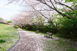 桜の絨毯の写真・画像素材[4217462]