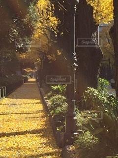 お散歩日和の秋、黄色い絨毯の道が続いてた。の写真・画像素材[3806901]