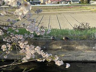 水辺でくつろぐ、つがいの鴨の写真・画像素材[4327862]