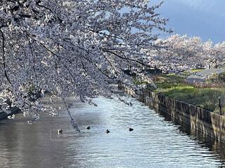 桜の下で泳ぐ鴨の写真・画像素材[4327864]