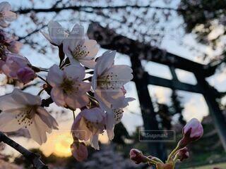 朝焼けの桜の写真・画像素材[3811689]