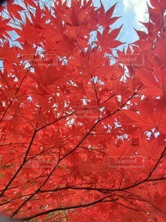 紅葉🍁の写真・画像素材[3833397]