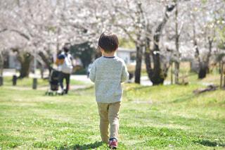桜の道を歩く男の子の後ろ姿の写真・画像素材[4279315]